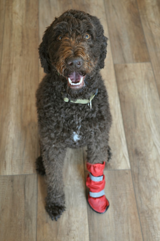 Hund mit Stiefel